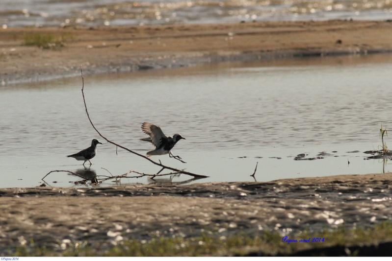 """Pluvier argenté""""LIFER"""" Papou152"""
