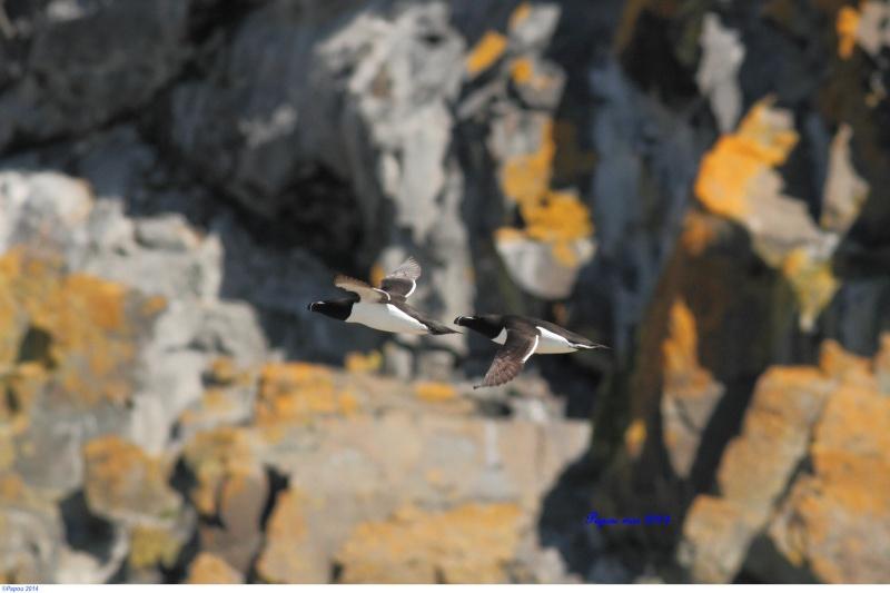 Petit pingouin (Croisière, Berthier sur mer) Papou_10