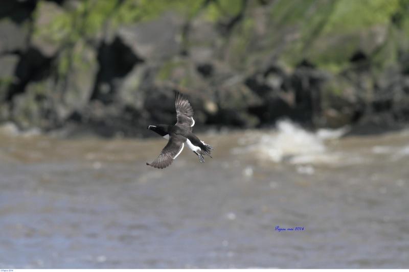 Petit pingouin (Croisière, Berthier sur mer) Papou_11