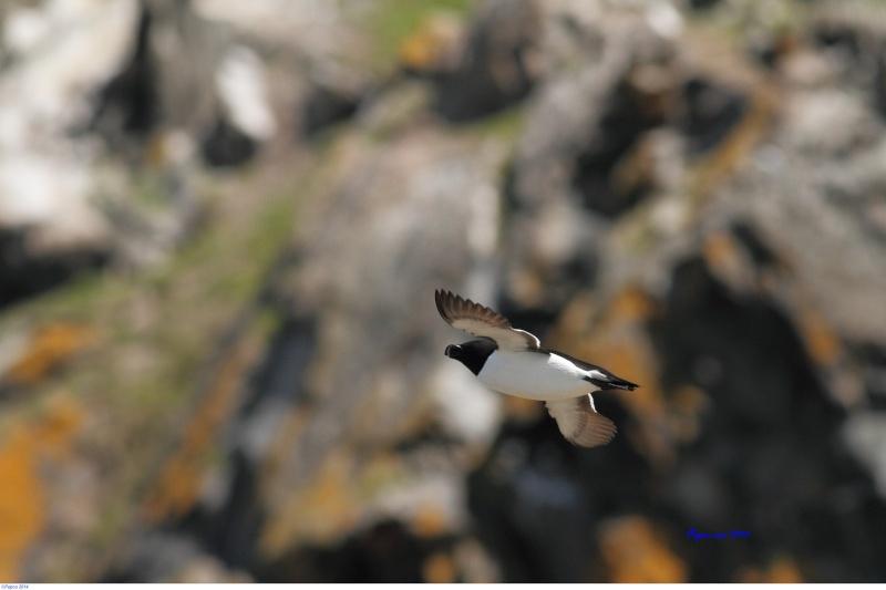 Petit pingouin (Croisière, Berthier sur mer) Papou_12