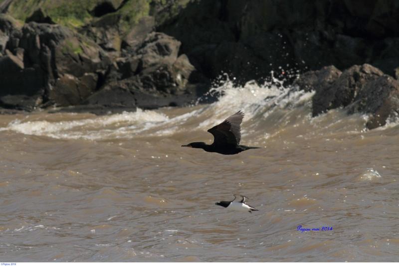 Petit pingouin (Croisière, Berthier sur mer) Papou_13