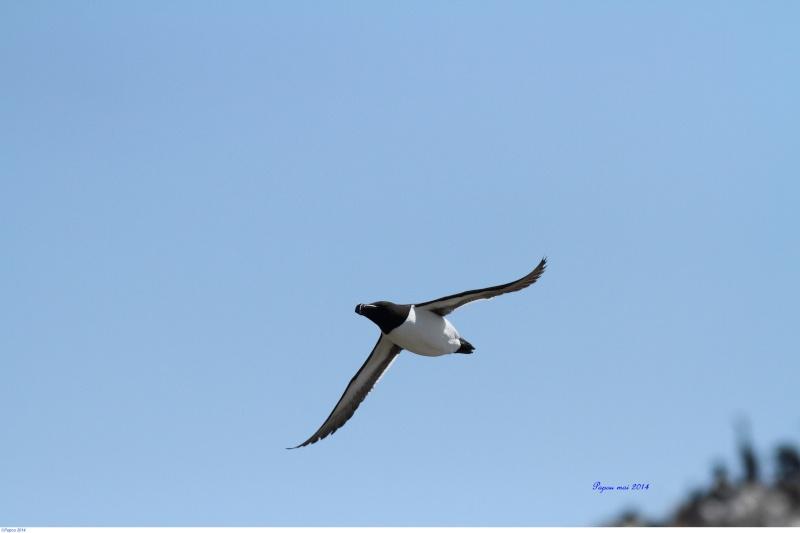 Petit pingouin (Croisière, Berthier sur mer) Papou_15