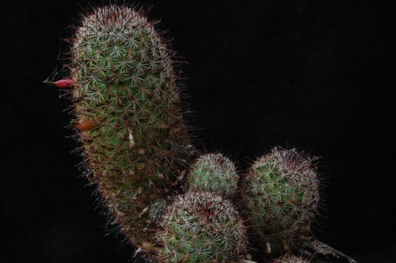 Mammillaria goodridgei -enzoc19