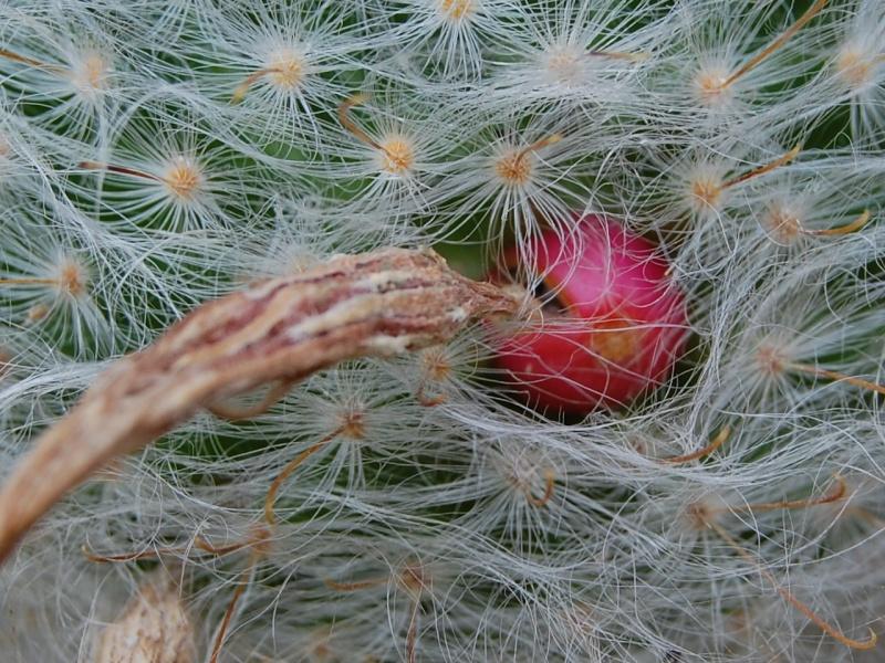 Mammillaria guelzowiana 2082-210