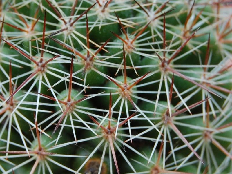 Mammillaria haasii 2541-212