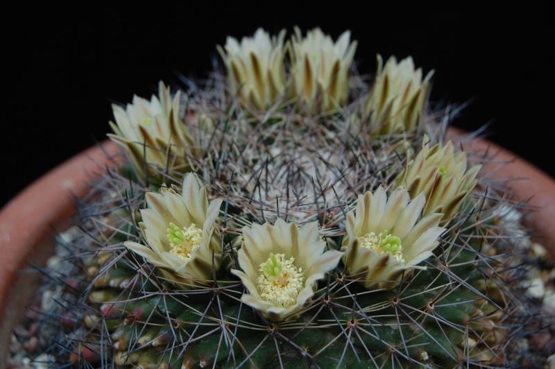 Mammillaria heyderi 3014-211