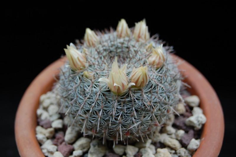 Mammillaria chionocephala 3238-b10