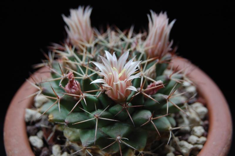 Mammillaria grusonii 3244-210
