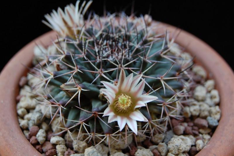 Mammillaria parrasensis 3374-210