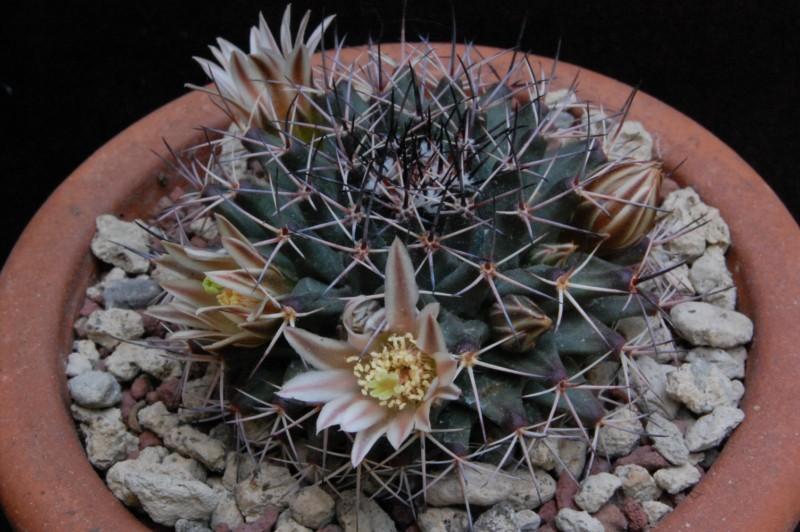 Mammillaria parrasensis 3374-212