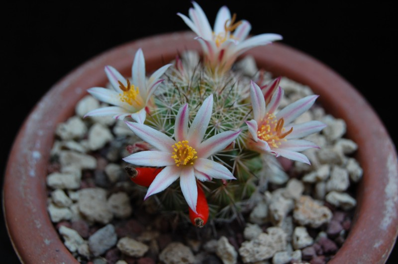 Mammillaria goodridgei 3462-210