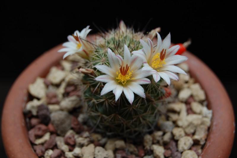 Mammillaria goodridgei 3464-211