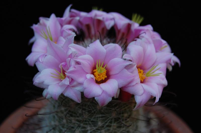 Mammillaria grahamii 4066-212