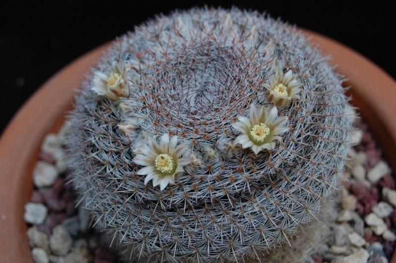 Mammillaria chionocephala 4076-z10