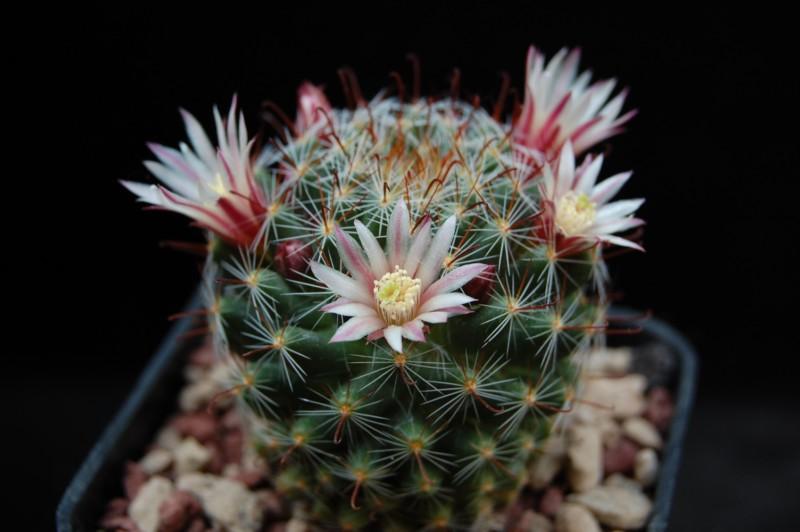 Mammillaria fittkaui 4161-210