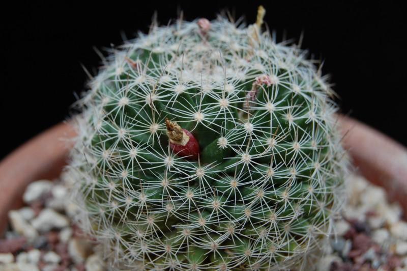 Mammillaria coahuilensis 4197-211