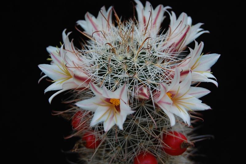 Mammillaria hutchisoniana 4313-210