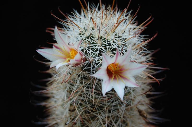 Mammillaria hutchisoniana 4313-211