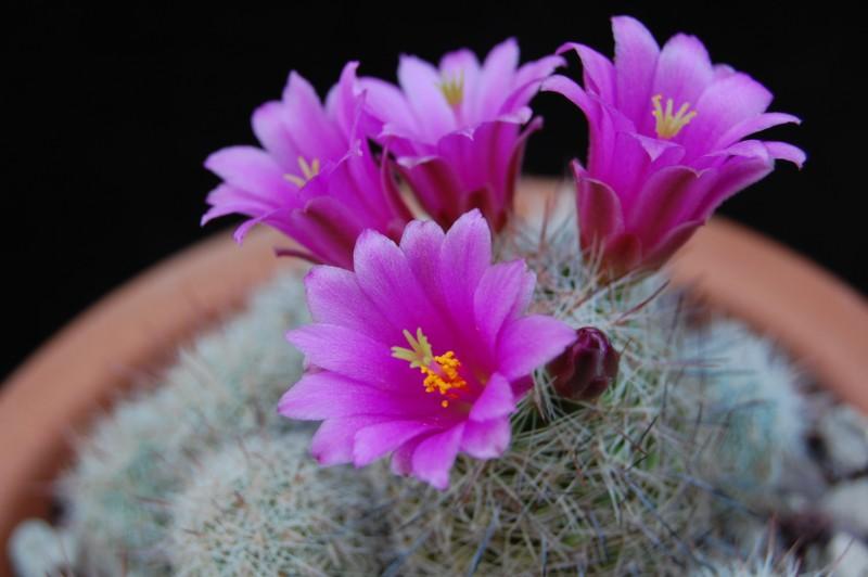 Mammillaria gueldemanniana 6132-210