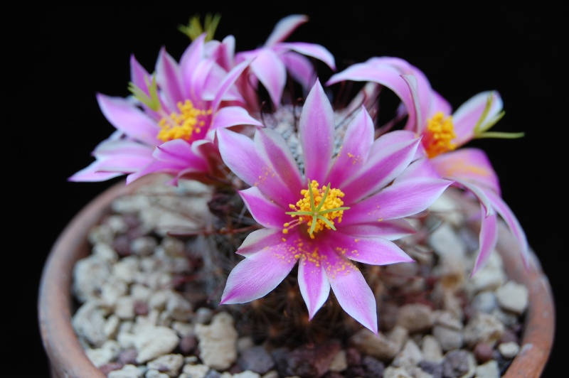 Mammillaria guirocobensis 6227-210