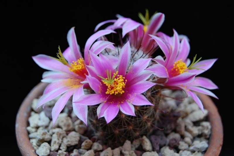Mammillaria guirocobensis 6227-212