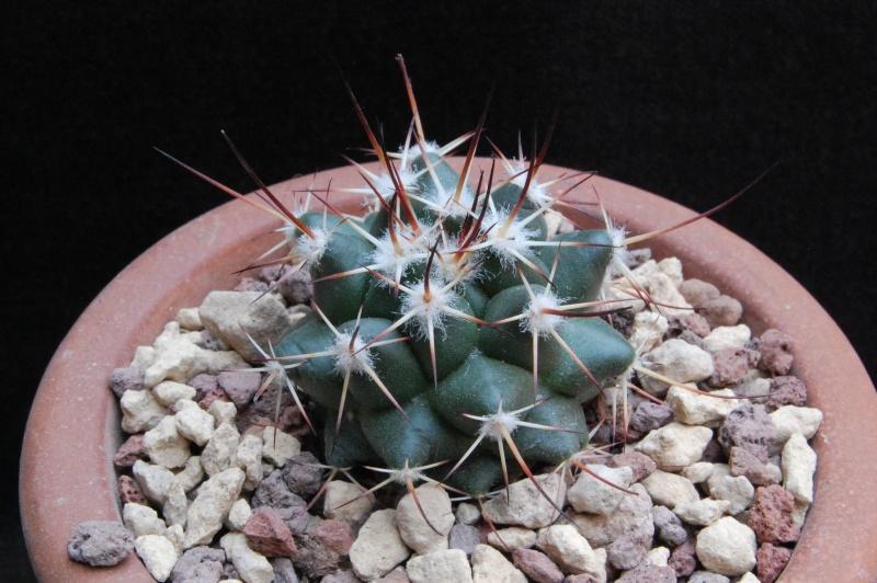 Mammillaria wagneriana 7201-210