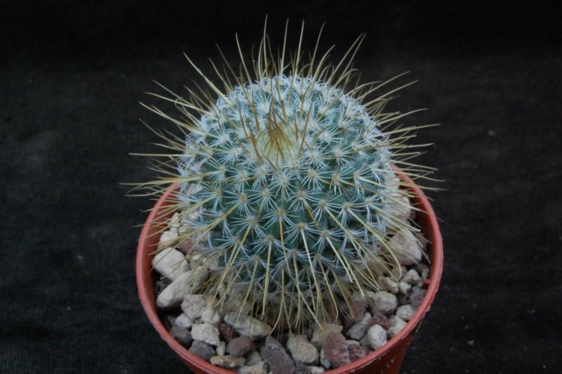 Mammillaria dixanthocentron 7361-210