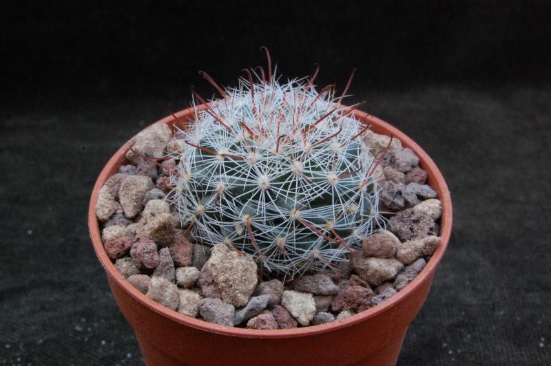 Mammillaria guillauminiana 7381-210