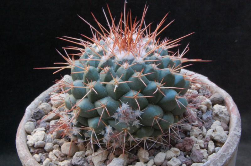 Mammillaria compressa 7411-210
