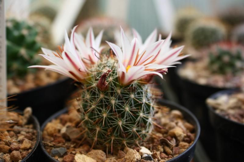 Mammillaria blossfeldiana Blossf14