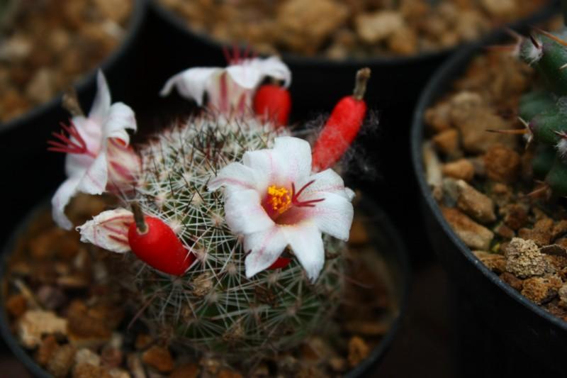 Mammillaria bullardiana Bullar10