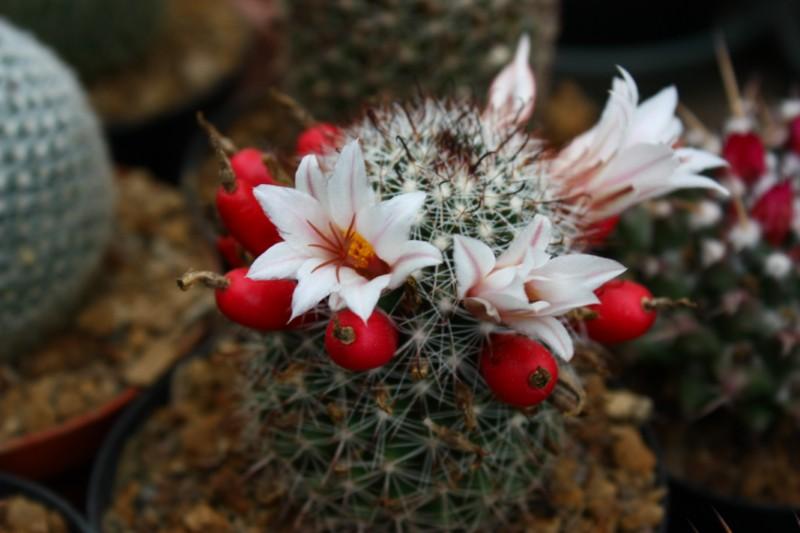 Mammillaria bullardiana Bullar11