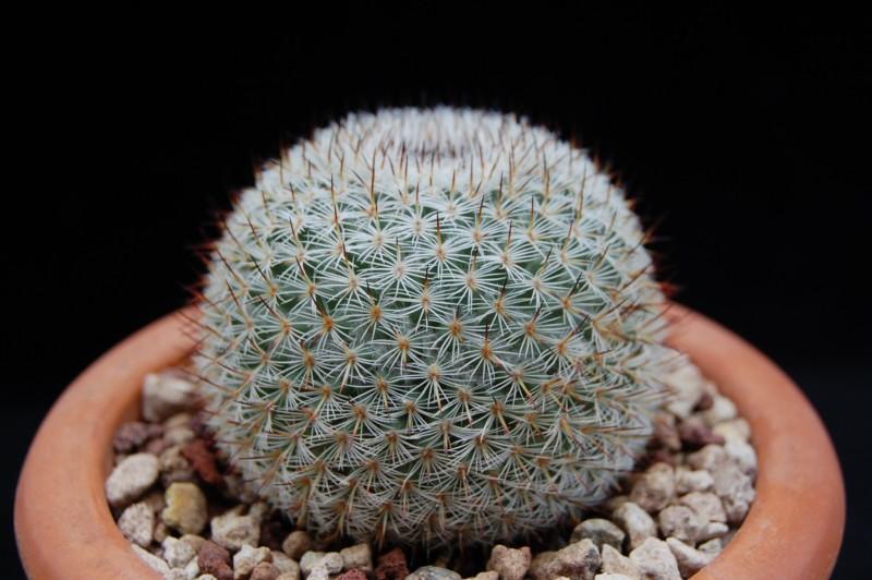 Mammillaria collina Collin14
