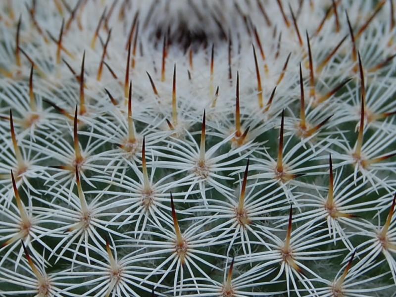 Mammillaria collina Collin15