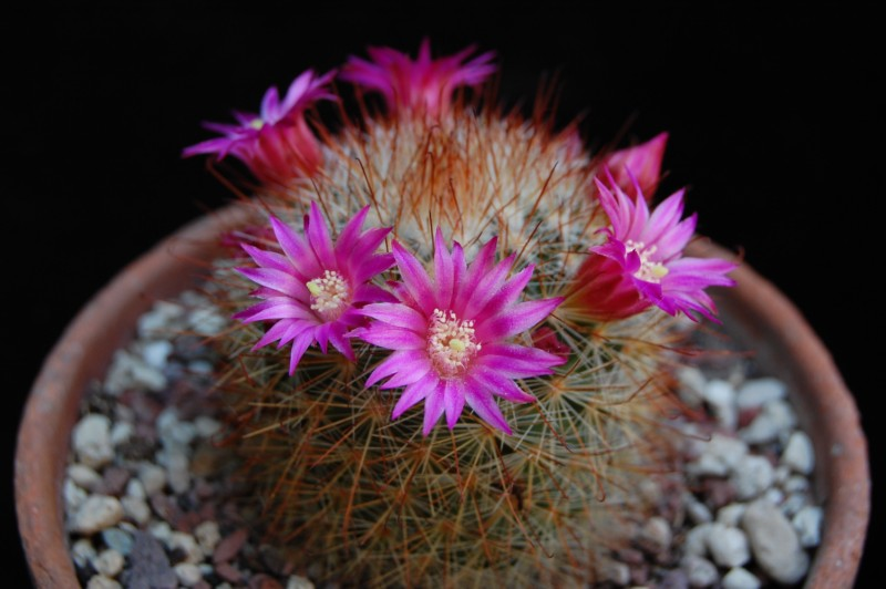 Mammillaria crassior Crassi10