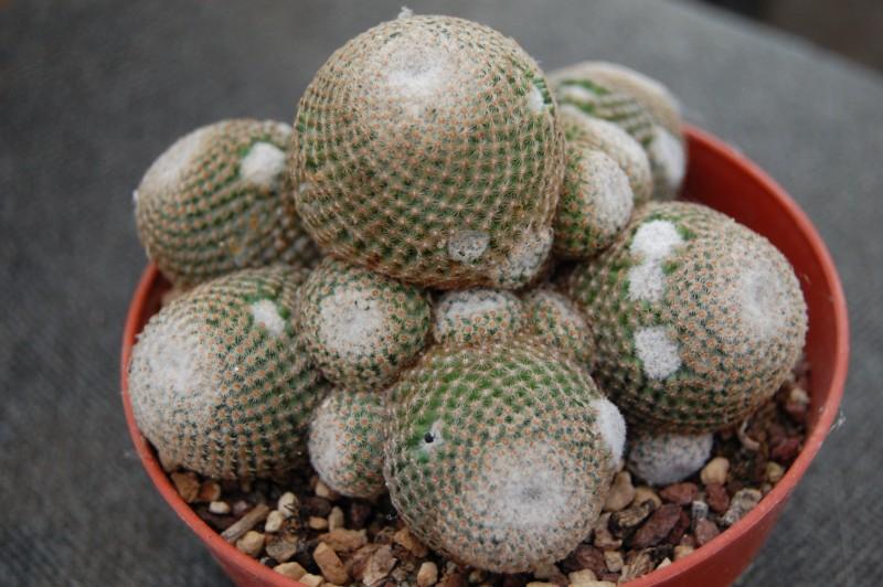 Mammillaria crucigera Crucig11