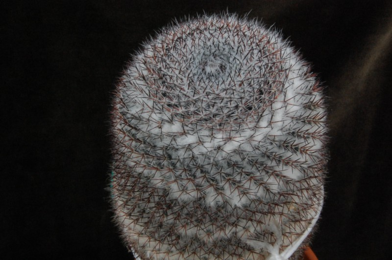 m. dyckiana or m. chionocephala. Dsc_0010