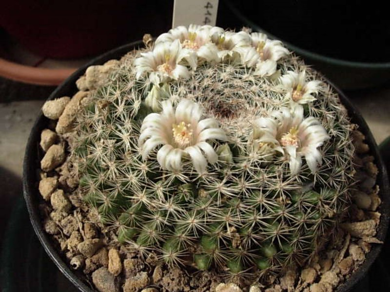 Mammillaria formosa Formos20