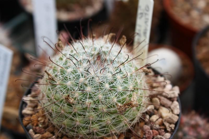 Mammillaria grahamii Graham10
