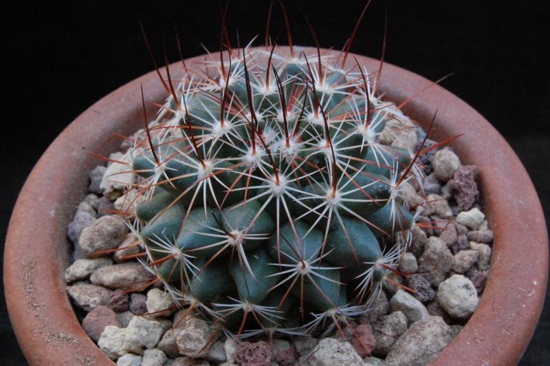 Mammillaria heyderi Heyder12