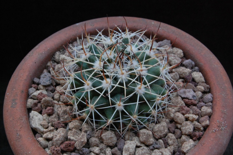 Mammillaria heyderi Heyder13