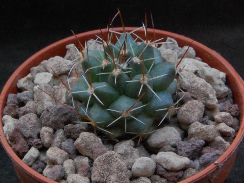 Mammillaria heyderi Heyder14