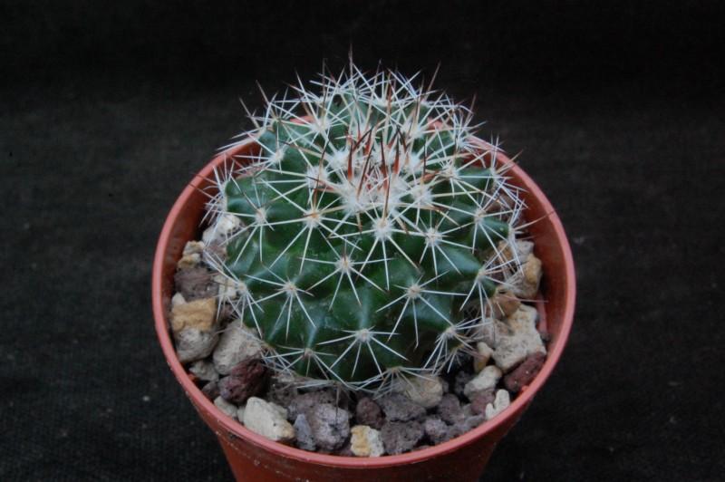 Mammillaria chaletii Jmc52310