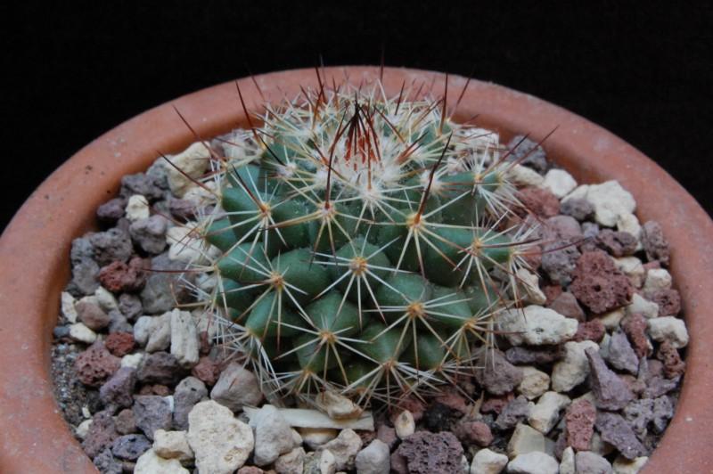 Mammillaria chaletii Jmc_4810