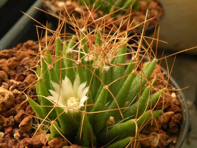 Mammillaria longithele Longit11