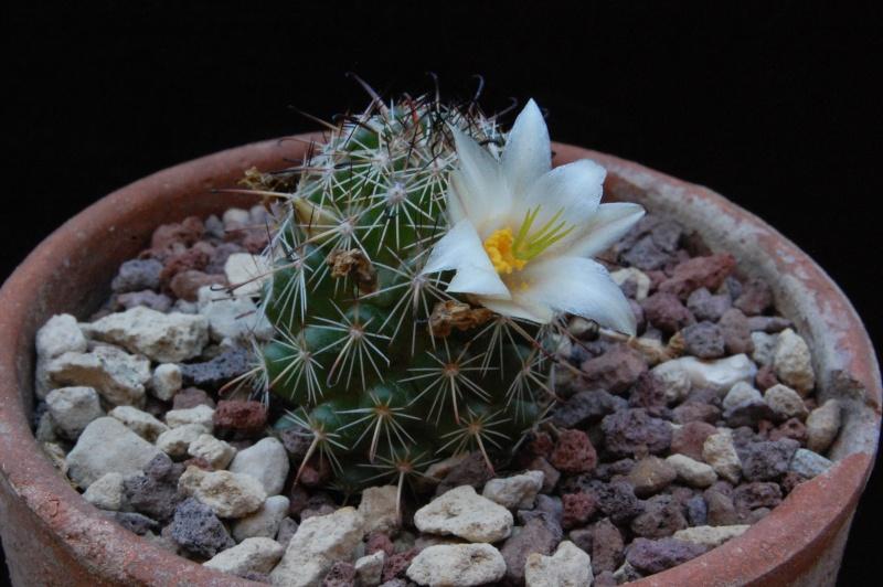 Mammillaria hutchisoniana Louisa10