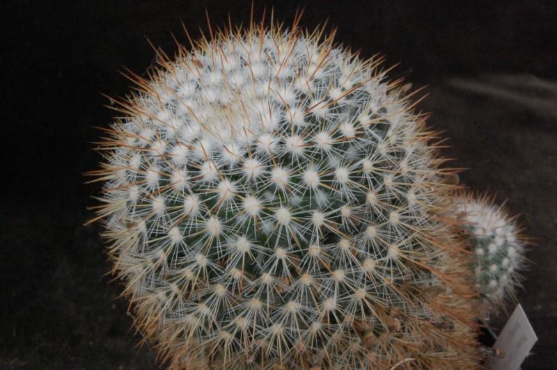 Mammillaria nunezii Nunezi10