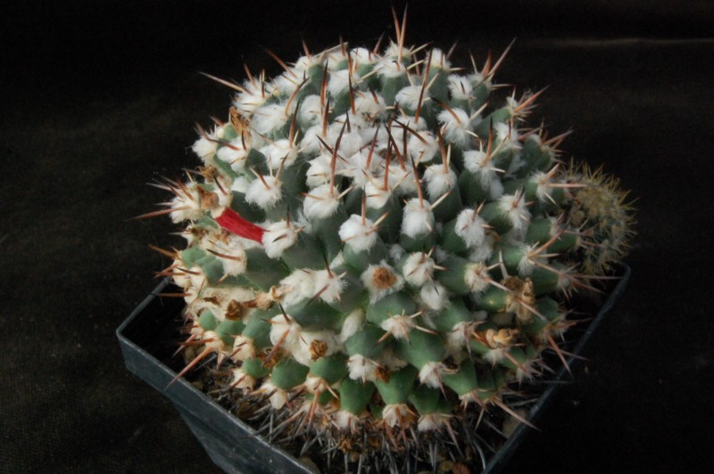 Mammillaria priessnitzii Priess10