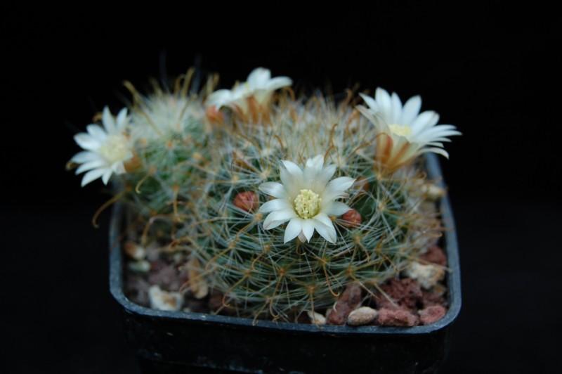 Mammillaria gilensis Rep_1711