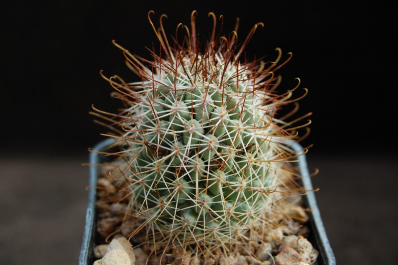 Mammillaria armillata        Sb_12510